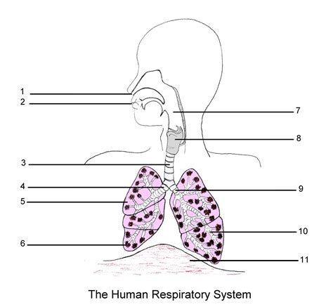 diagram of the human human respiratory system diagram unlabeled human