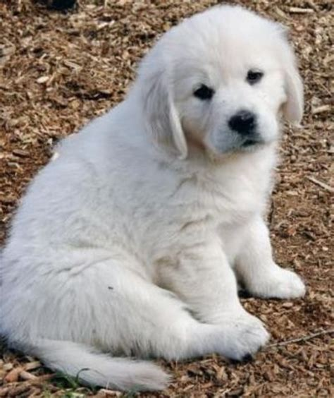 golden retriever puppies white white golden retriever puppy beautiful stuff juxtapost