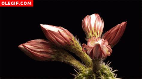 imagenes flores gif gif varias flores de cactus abri 233 ndose a la vez gif 360
