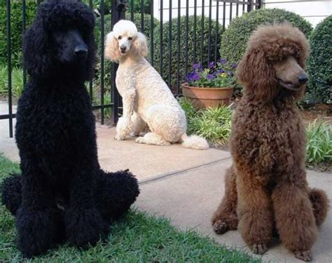 Do Standard Poodles Shed tag archive for quot hypoallergenic quot central california spca