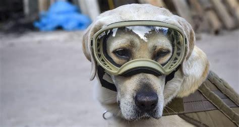 frida rescue frida 4 legged heroine of mexico s quake to the rescue daily sabah