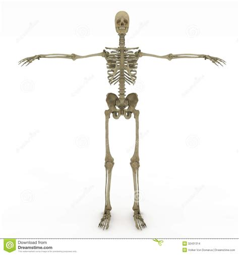 full female anatomy female anatomy only skeletal stock images image 32431314