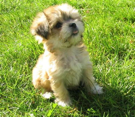 havanese breed temperament havanese appearance temperament pictures small adorable breeds litle pups