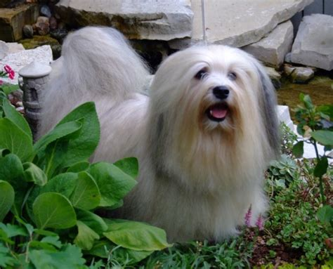 havanese behavior havanese breed guide learn about the havanese