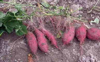 Benih Ubi Ungu anim agro technology 3 varieti keledek ungu baru