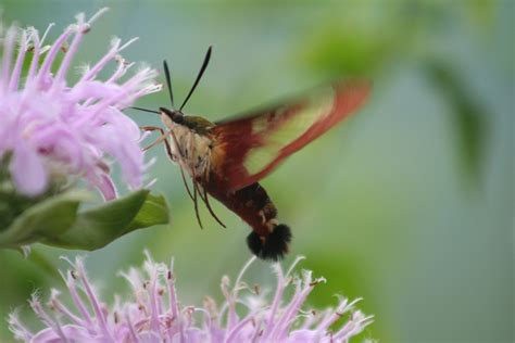 best 28 hummingbird bug hummingbird moth from behind