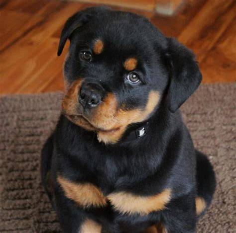 german rottweiler puppy 40 rottweiler puppy pictures and images