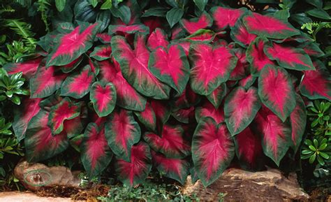 freida hemple caladiums a popular and colorful red