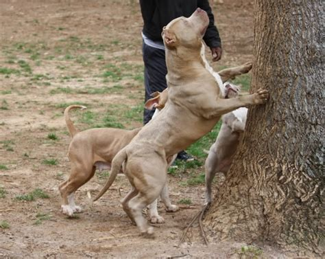 american bully pitbull puppies pitbull pictures of american bully puppies