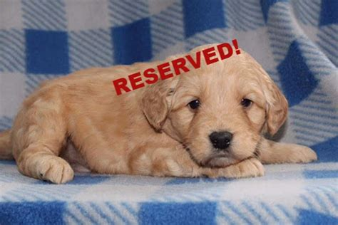 mini doodle nc miniature goldendoodle puppies for sale in carolina