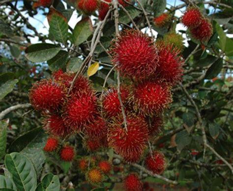 Benih Rambutan Cepat Berbuah buah rambutan jualbenihmurah