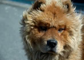 chow chow colors chow chow tongue color breeds picture