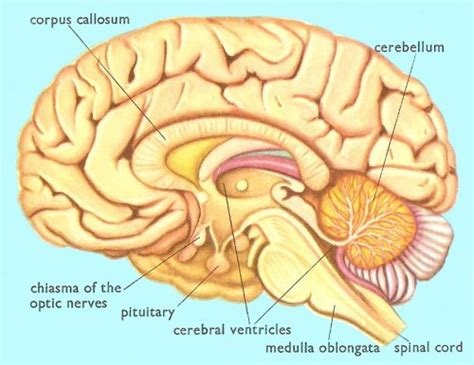 cross section of the human brain human biology and health nervous co ordination