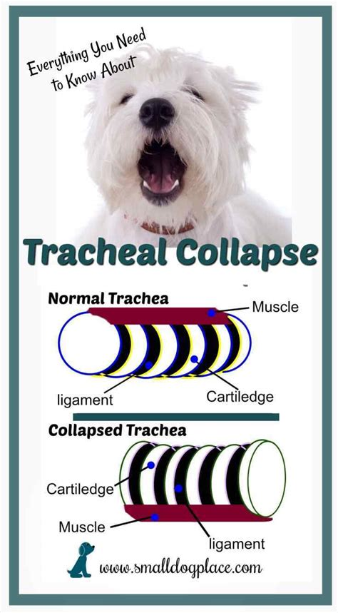 tracheal collapse in dogs tracheal collapse in small breed dogs