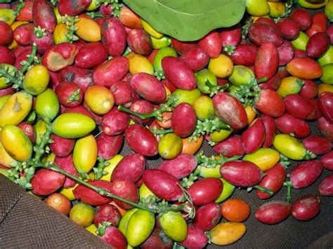 healty health benefits  melinjo leaves  melinjo seeds