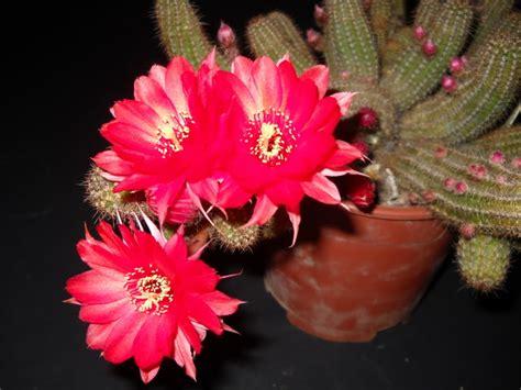 cactus fioriti cactus fioriti