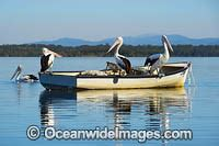 pelican boats australia australian pelican photos images and pictures
