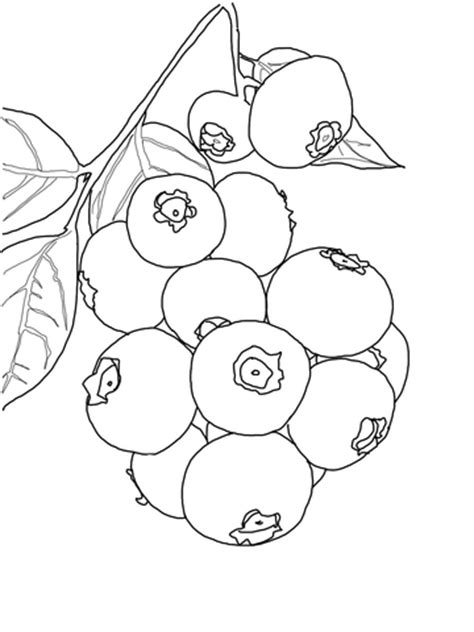 blueberry bush coloring page super coloring