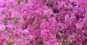 Purple Flowering Shrub - flowering perennial shrubs ehow uk