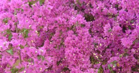 small shrubs with flowers flowering perennial shrubs ehow uk