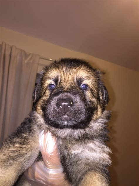 shepherd puppies for rehoming ready for rehoming chunky gsd puppies for sale birmingham west midlands pets4homes