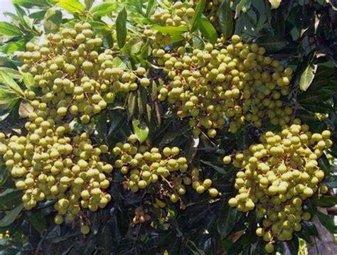 Beli Bibit Kelengkeng Itoh mengatasi pohon kelengkeng yang sulit berbuah rumah dan