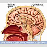Hypothalamus   400 x 344 jpeg 107kB