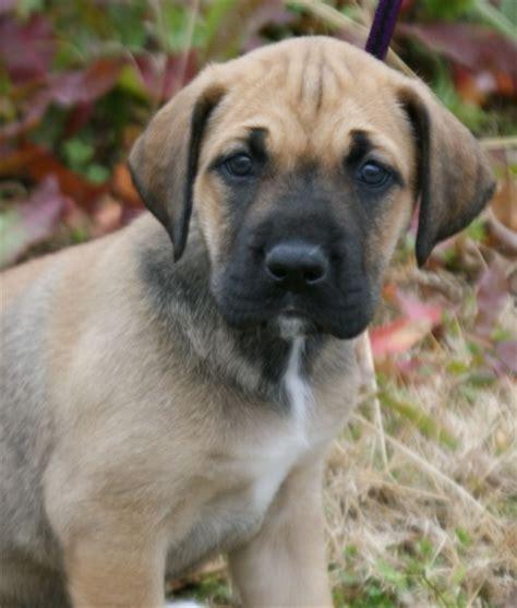 great dane bullmastiff mix puppies for sale mastiff great dane mix doggies