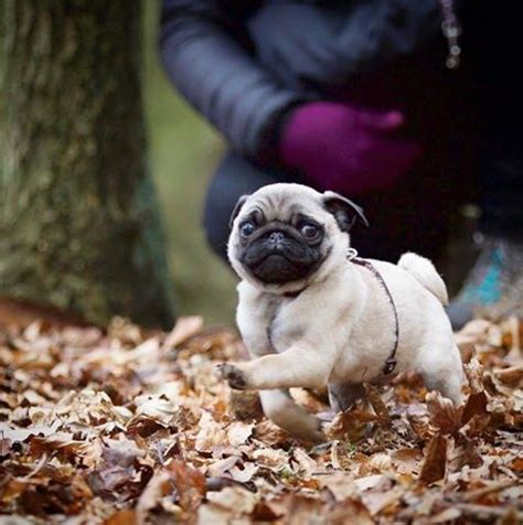 baby and pug puppies best 25 pugs ideas on pugs pug puppies