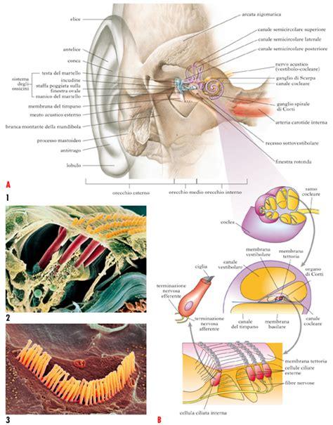 orecchio interno equilibrio orecchio in quot dizionario di medicina quot