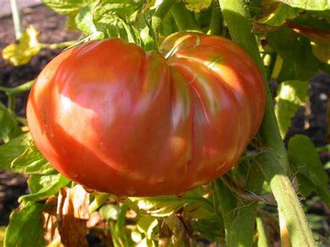 Big Hybrid Tomato 10 Benih top 10 vegetables for st louis
