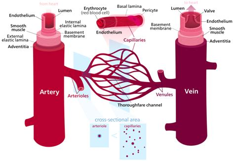 what color are arteries blood vessel