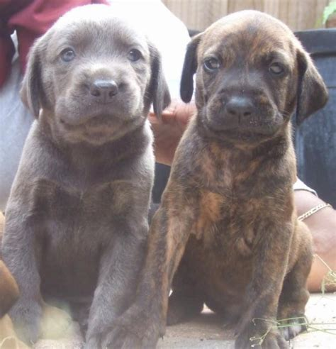 plott hound puppies 17 best images about plott hounds on parks adoption and trips