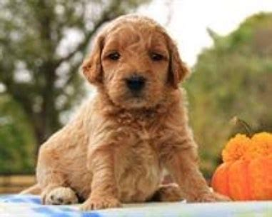 goldendoodle puppies for sale in louisiana goldendoodle puppy for sale in amite louisiana