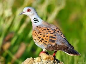 Viewing very beautiful dove bird hd wallpaper this wallpaper is free