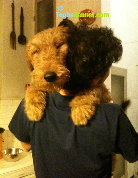 airedale terrier puppies for sale airedale terrier puppies for sale puppies for sale dogs for sale breeders