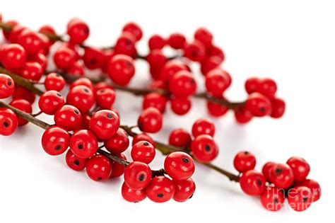 christmas decorations with berries berries photograph by elisseeva