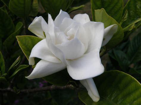 imagenes flores jazmin flor de jazm 237 n del cabo cuyo aroma asocio con las fiestas