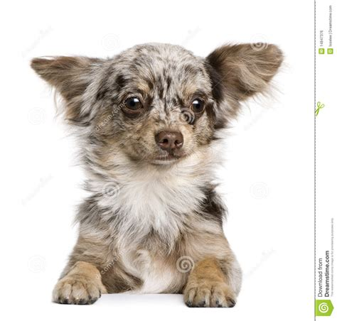 8 month puppy chihuahua puppy 8 months royalty free stock image image 14847376