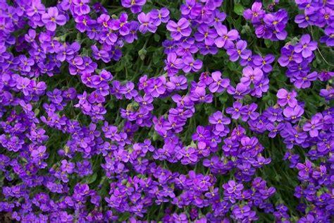 plant with purple flowers 25 romantic purple flowers