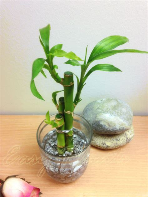 Lucky Bamboo Vases Pots by 1 Pot Of Lucky Bamboo In Colourful Glass Vase House Plant
