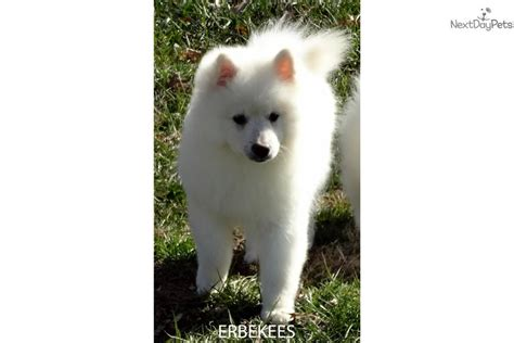 keeshond puppies for sale near me keeshond puppy for sale near nashville tennessee a578219e f441
