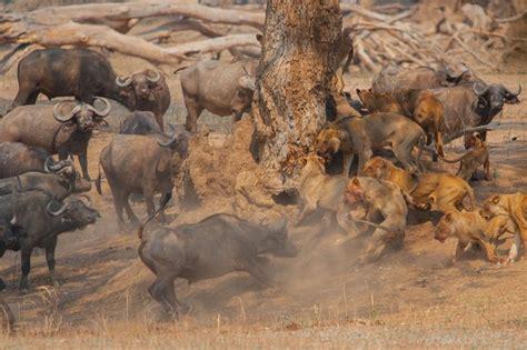 peleas de leones a muerte peleas de leone s vs tigres bing images