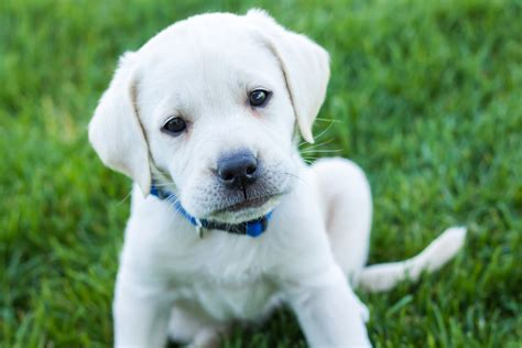 white puppy white labrador puppy placed