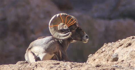 age of ram how to accurately age bighorn sheep sheep