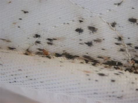 test for bed bugs what s the best way to check for bed bugs quora