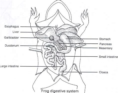 diagrams of frogs free and printable frog diagram diagram site
