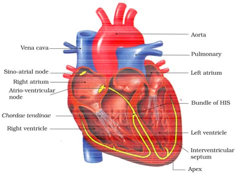 cross section of human heart body fluids and circulation ncert cbse resources