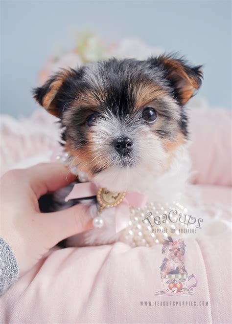 biewer yorkies for sale biewer terrier puppies available here teacups puppies boutique