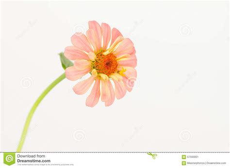 salmon colored flowers background pastel salmon pink zinnia stock photo image 57593051